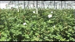 Преимущества кокосовой стружки при выращивании растений