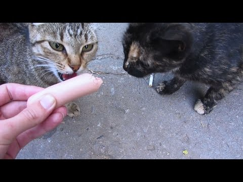 Hungry cats eating sausage