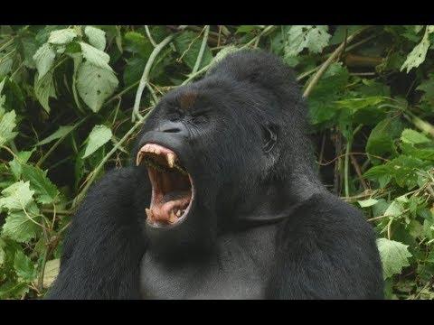 WIld Gorilla encounter     DRC Congo     Africa