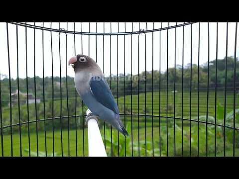 Suara Lovebird Ngekek Memanggil Lawan Di Pagi Hari,