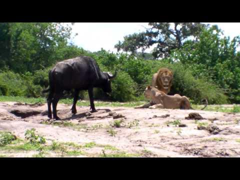 Lions attack cape buffalo in Chobe 2