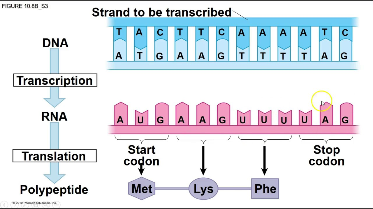free essay dna transcription and translation Protein synthesis is the process whereby dna encodes for the production of amino acids and proteins  amino acid activation and translation  service free.