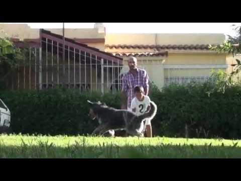 Informe de raza: Australian Cattle Dog (Pastor Ganadero Australiano)