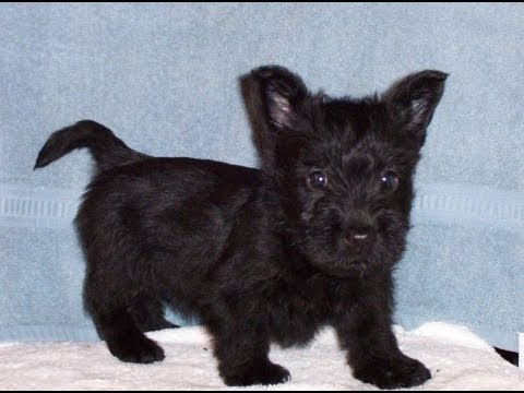 Scottish Terrier, Puppies, Dogs, For Sale, In Atlanta, Georgia, GA, Savannah, Sandy Springs, Roswell