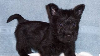 Scottish Terrier, Puppies, For, Sale, In, Denver, Colorado, Co, Fort Carson, Black Forest, Welby, Gr