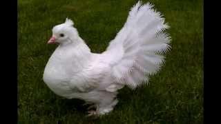Королевский голубь из пластиковых бутылок