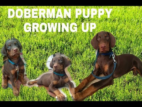 Doberman Puppy Growing up -: 4 weeks to 1 year