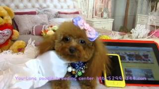 Uk Pocket Teacup Poodle #938 - Teacup Poodle,toy Poodles,tiny Toys,teacups Poodle Puppies For Sale
