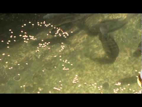 Como criar mojarra tilapia apareamiento y reproduccion 9 for Como criar mojarras