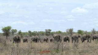 Elephant herd moving as one across the veld.