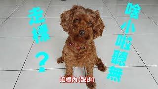 狗狗寵物 狗餅聽到要運動就假鬼假怪