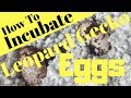 - How To Incubate Leopard Gecko Eggs - The Best Way