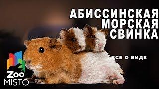 Абиссинская морская свинка - Все о породе морских свинок | Все о породе абиссинская морская свинка
