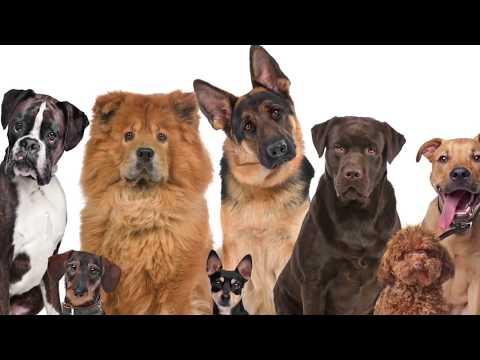 Сколько собака болеет чумкой