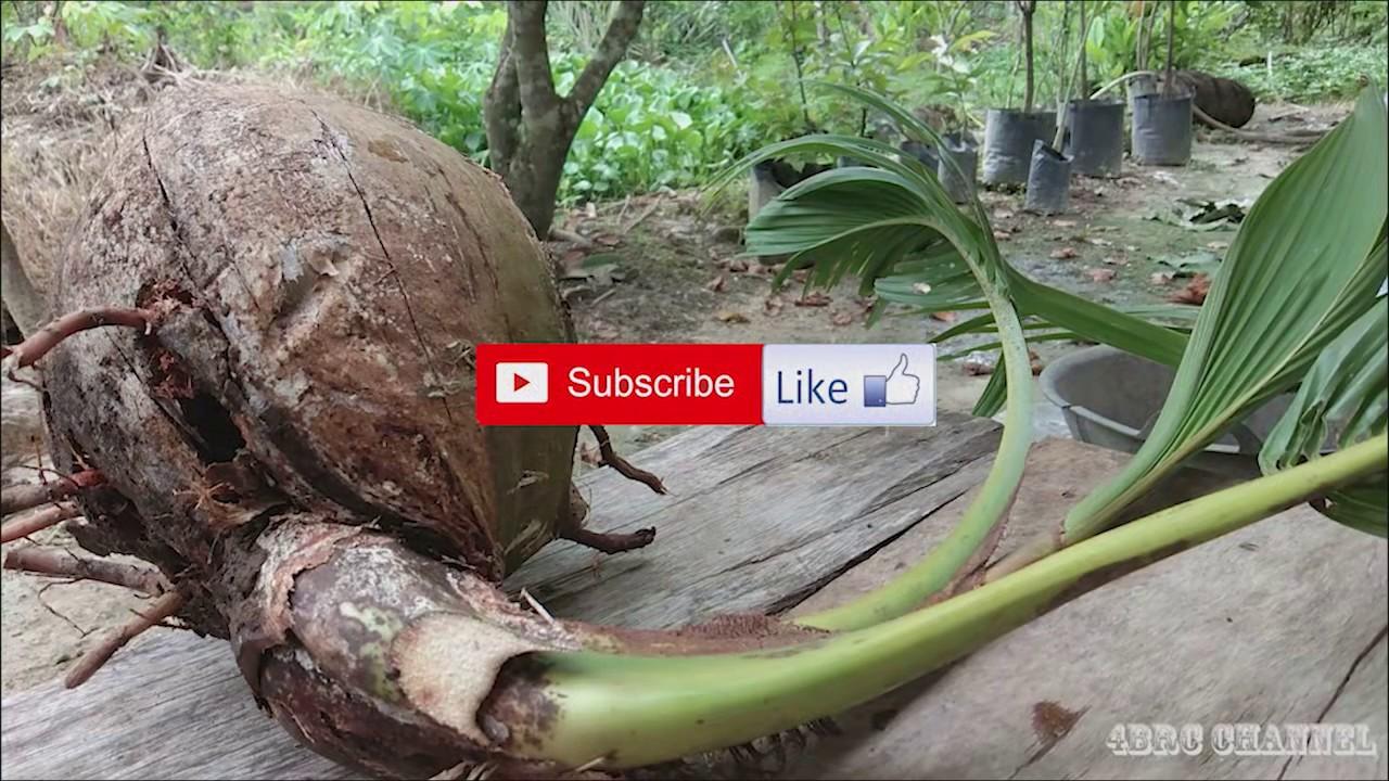 Bonsai Kelapa Kalajengking Pot Galon Bekas By 4brc Channel