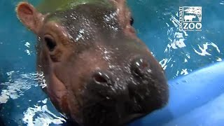 Baby hippo Fiona meets parents