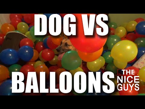 DOG VS 1000 BALLOONS - The NICE GUYS