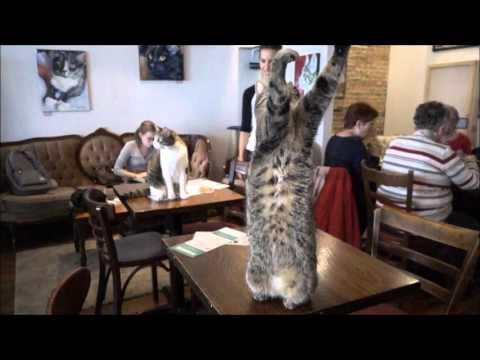 Ultra slow motion Milady   Cafe Chat l'Heureux Cat Cafe Montreal