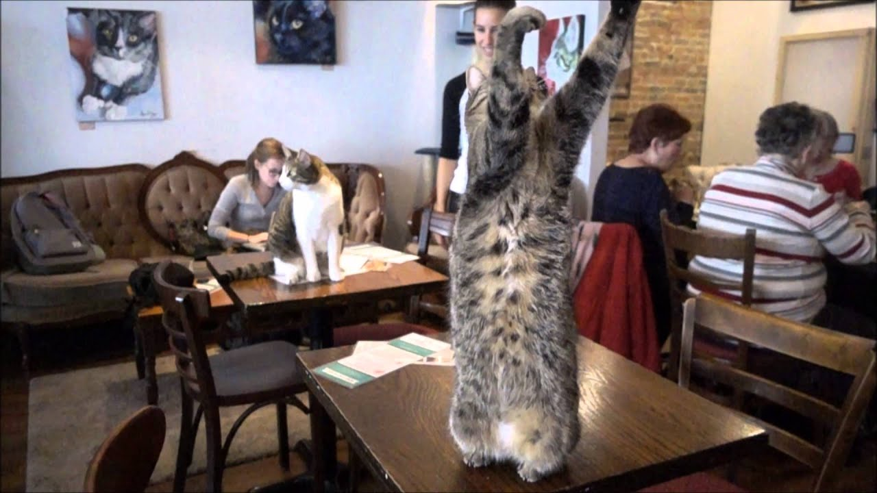 cafe a chat montreal