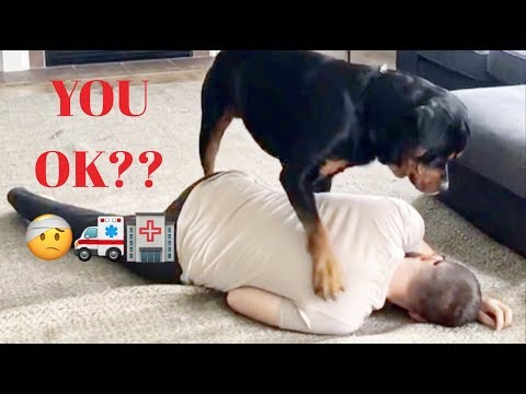 Pretending to faint. Rottweiler reaction |20