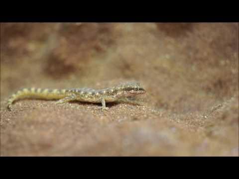 Tiny desert gecko catching Firebrats