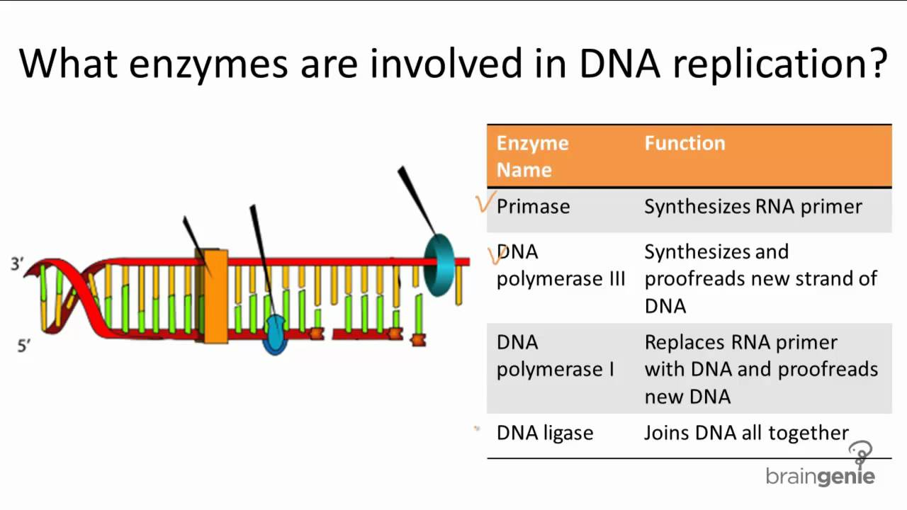 10 2 1 Enzymes Involved In Dna Replication Youtube