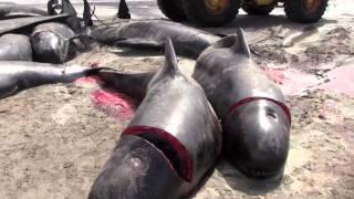 Датчане убивают дельфинов и считают это мужественным постуком
