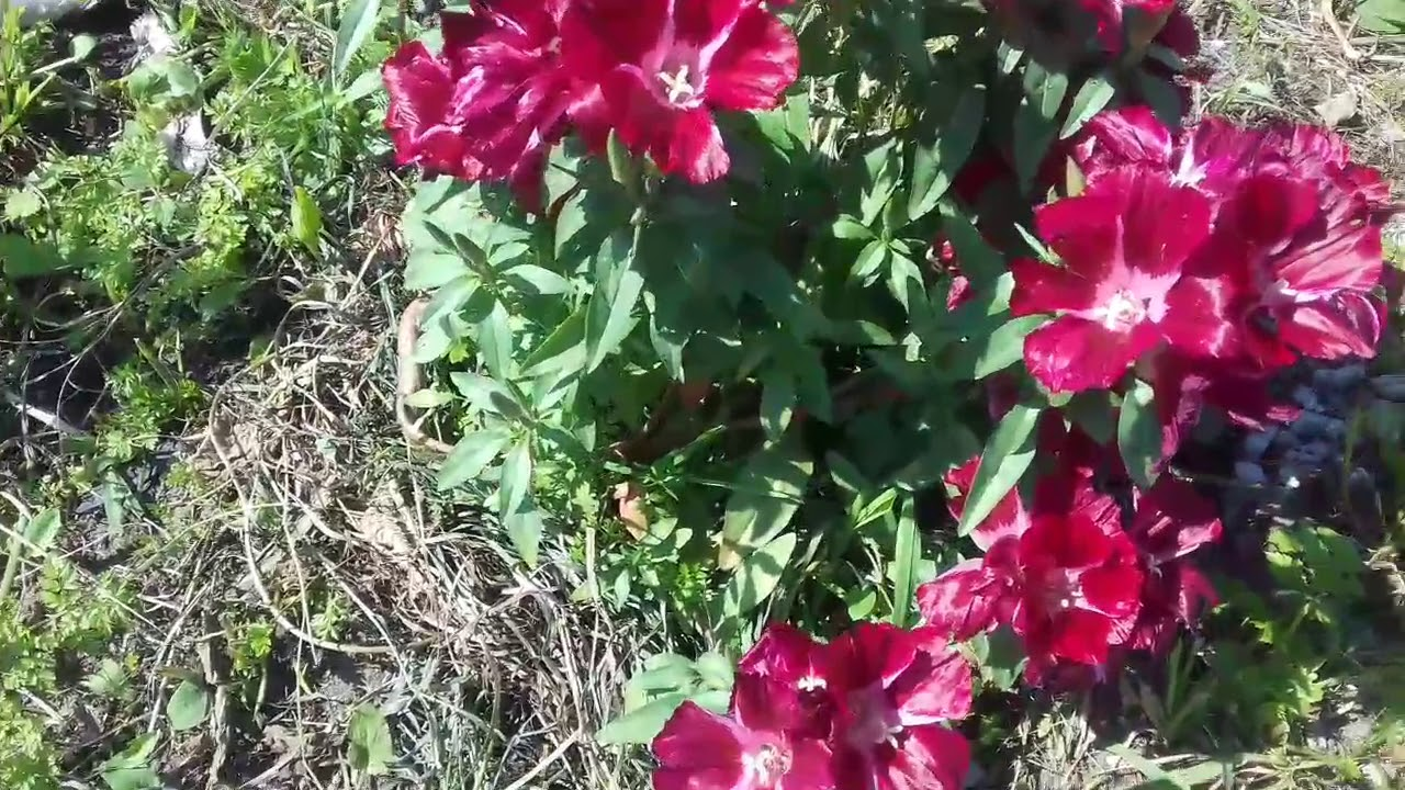 Годеция: выращивание из семян. Годеция крупноцветковая: выращивание