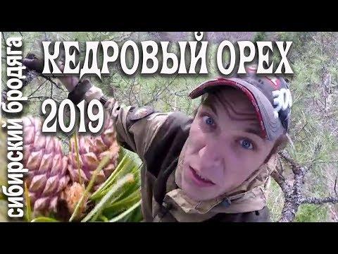 ПРОВЕРКА КЕДРЫ НА НАЛИЧИЕ КЕДРОВОГО ОРЕХА 2019 СЕЛФИ С КЕДРА одиночный поход