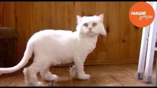 Персидская кошка Майя