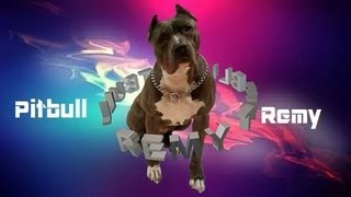 Pitbull Remy Bttb - Obedience Training Down Sit Come And Back Hand Signals