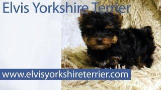 Yorkies From Elvis Yorkshire Terrier