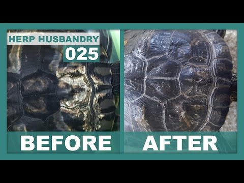 How to Easily Fix Shell Rot in Turtles - YouTube