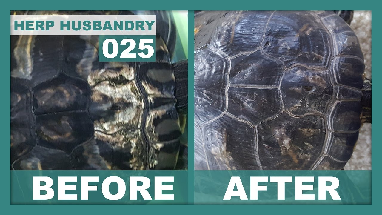 How to Easily Fix Shell Rot in Turtles | GoHerping | Reptile Care