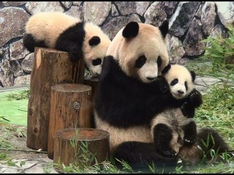 Panda Twins Baby 双子パンダ 海浜 陽浜と良浜 アドベンチャーワールド Youtube