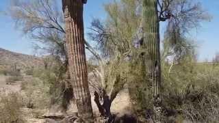 США. Огромные кактусы в Аризоне.