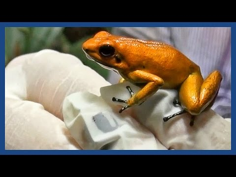 This Tiny Frog Is the World's Most Poisonous Animal