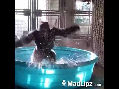 Funny Gorilla Dance On Ghoomar Ghoomar Song