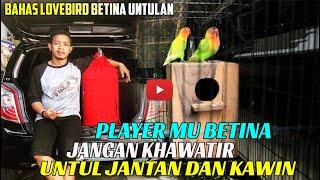 Download lagu JANGAN PANIK KETIKA PLAYER LB BETINA MU KAWIN DAN BERTELUR
