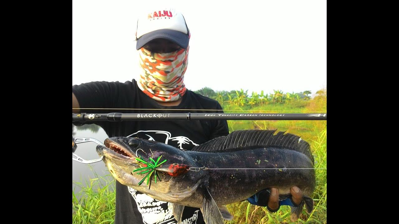 ปลาชะโดจิบ ไม่มีสวิง อีกอย่างขอบบ่อสูงครับเลยต้องยก Giant Snakehad fishing