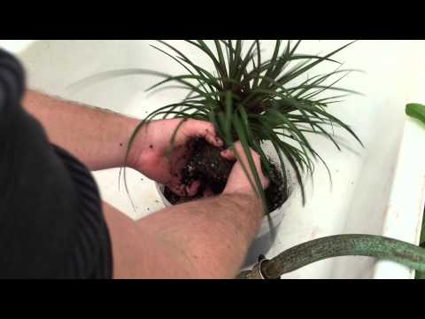 TILLANDSIA AIR PLANT UPDATE TOUR: LETS UNPOT THIS PINK QUILL AIR PLANT Tillandsia Cyanea