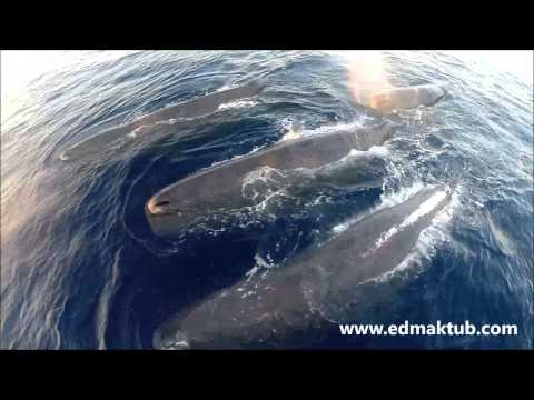 Sperm whales aerial drone survey for blow sampling purposes