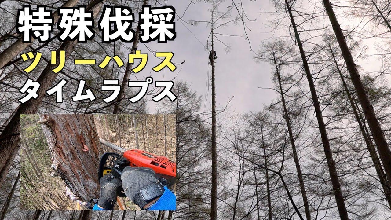 【特殊伐採】(3分動画)ツリーハウスのシンボルツリーの伐採(枯れ対策)タイムラプス映像