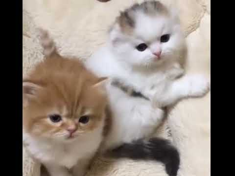 A dorable fluffy babay kittens