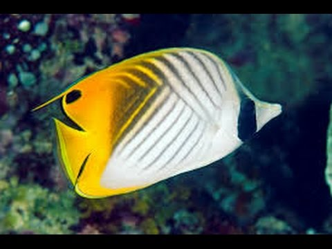 facts the butterflyfish youtube