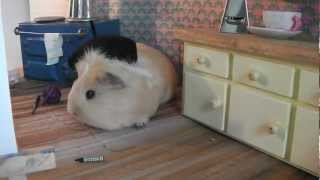 Drawing Guinea Pigs