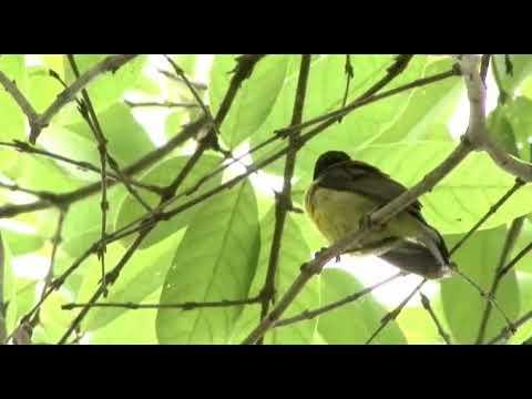 Kicauan Kolibri Kelapa/wiceh Di Alam Liar