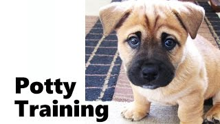 How To Potty Train A Bullmastiff Puppy - Bullmastiff House Training Tips - Bullmastiff Puppies