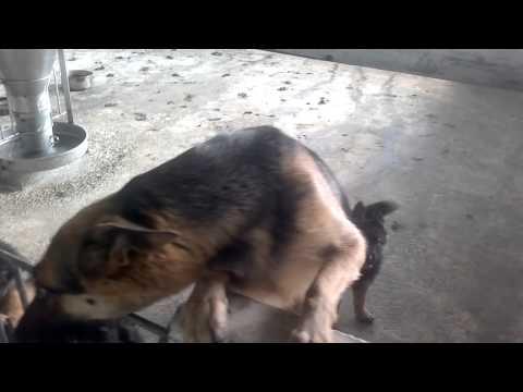 Bán chó becgie con,0902338799/ traichovotuan
