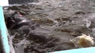 2011.3.7 カバ 円山動物園 Hippopotamus こんな激しいカバ 実際 目にし...